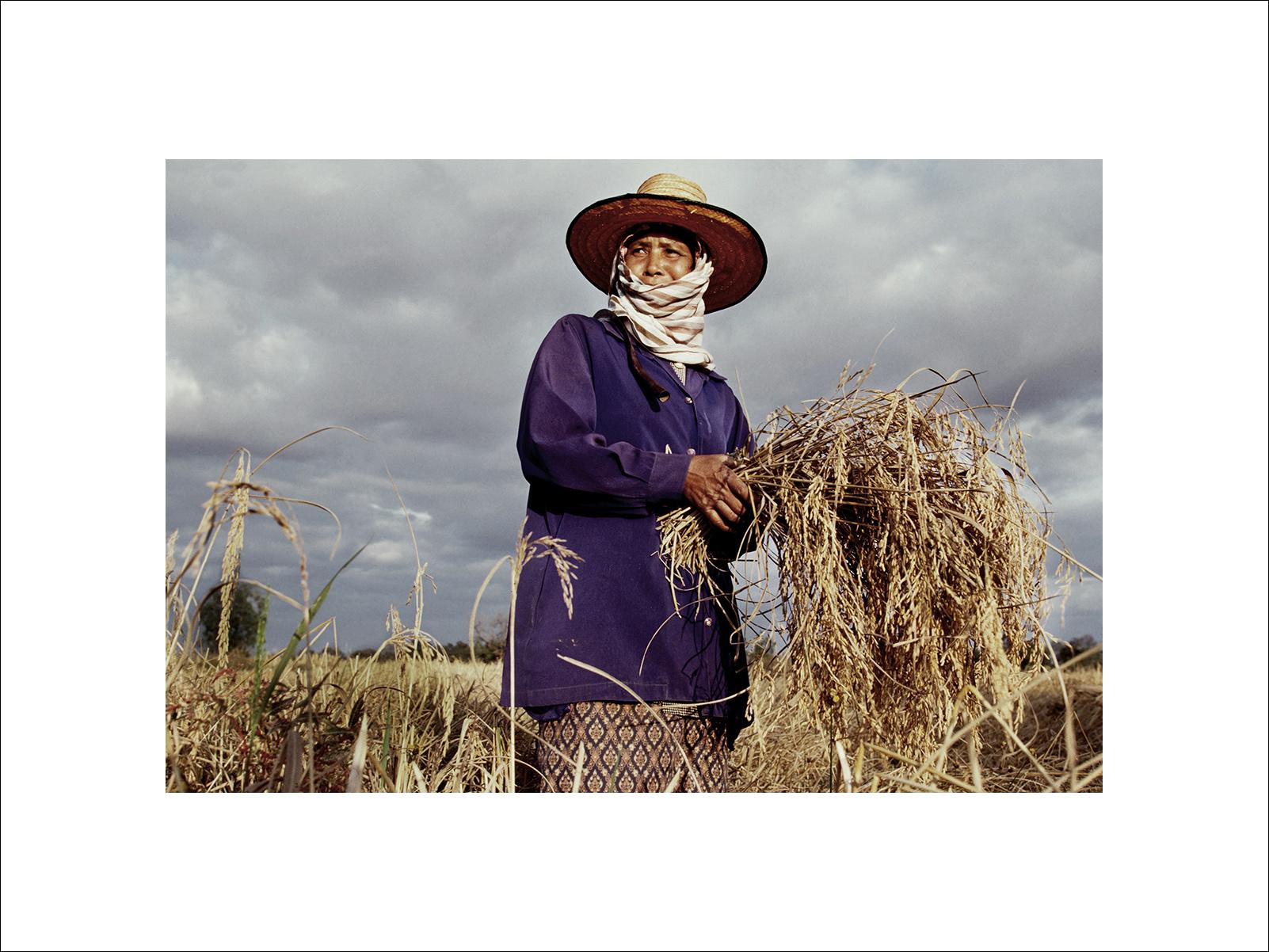Thai rice harvest