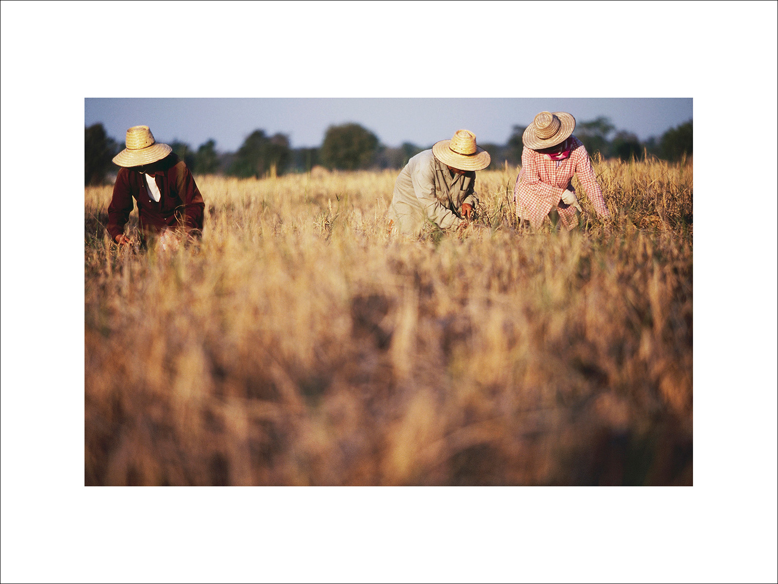 Thai Rice farmers during the harvest